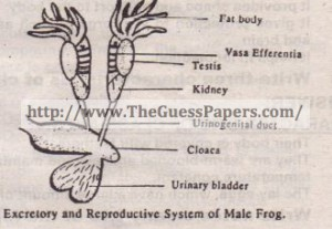Excretory & Reproductive System of Male frog