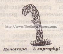 Monotropa -A saprophyt