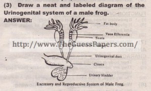 Urinogenital system of a male frog.